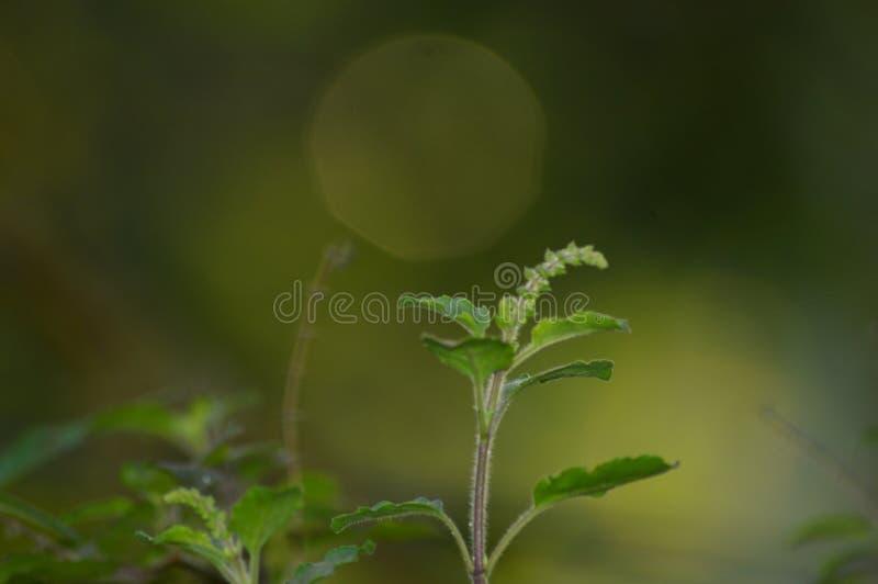 Grüne Pflanze und Bokaeffekt stockfotos
