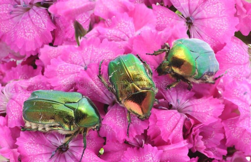 Grüne Programmfehler auf rosafarbenen Blumen stockfotografie