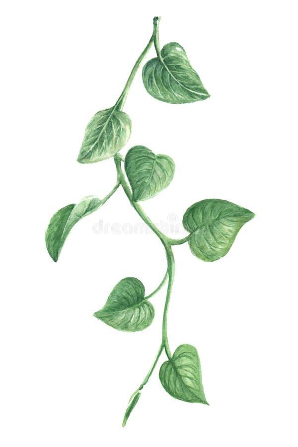 Grüne Rebe, Aquarellblätter, Aquarellzweig, lokalisiert auf weißem Hintergrund vektor abbildung