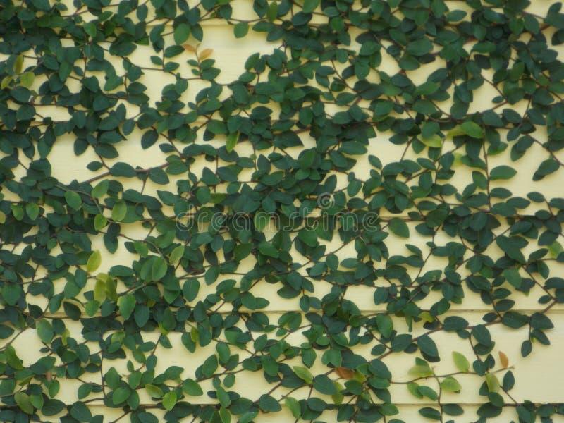 Grüne Rebe auf Sahnewand lizenzfreie stockfotos