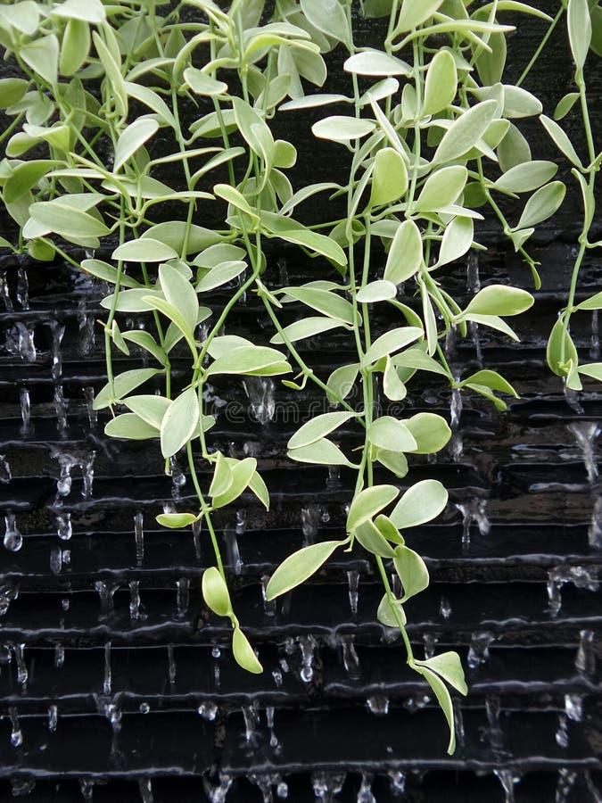 Grüne Rebe auf Wasservorhang lizenzfreie stockbilder