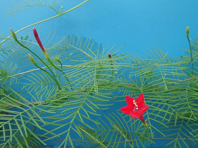 Grüne Rebe und rote Blume auf blauem Hintergrund stockbilder
