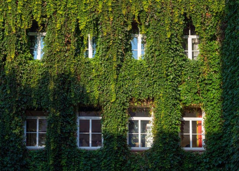 Grüne Reben über Fenstern, Architektur, Wand bedeckt mit Reben stockfotografie