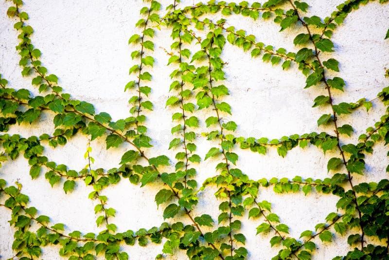 Grüne Reben auf Wand lizenzfreie stockbilder