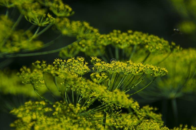 Grüne Regenschirme von Dillblumen wachsen im Sommergarten lizenzfreie stockfotos