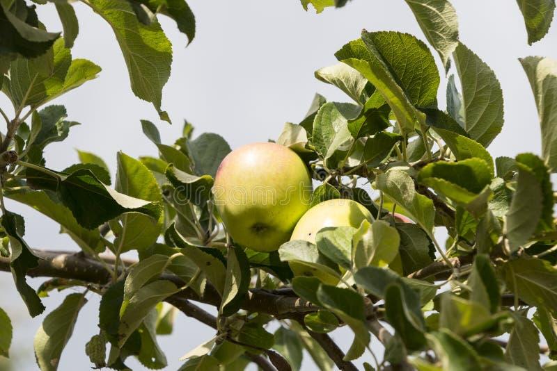 Grüne reife Äpfel auf Hintergrund des blauen Himmels des Apfelbaumasts stockfotos