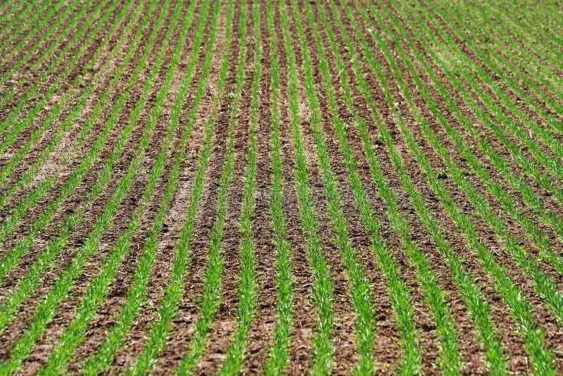 Download Grüne Reihen des Grases stockfoto. Bild von grün, gras - 26357560