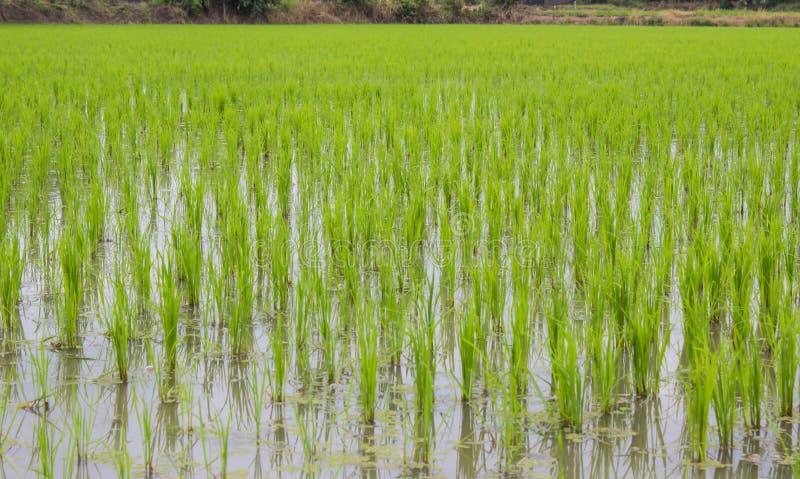Grüne Reisfelder stockfoto