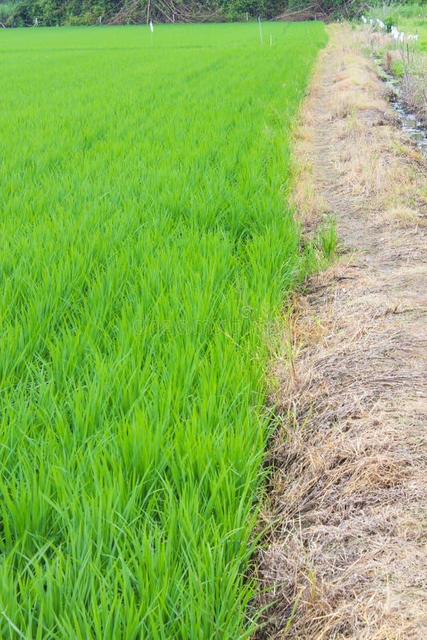 Grüne Reisfelder stockfotos