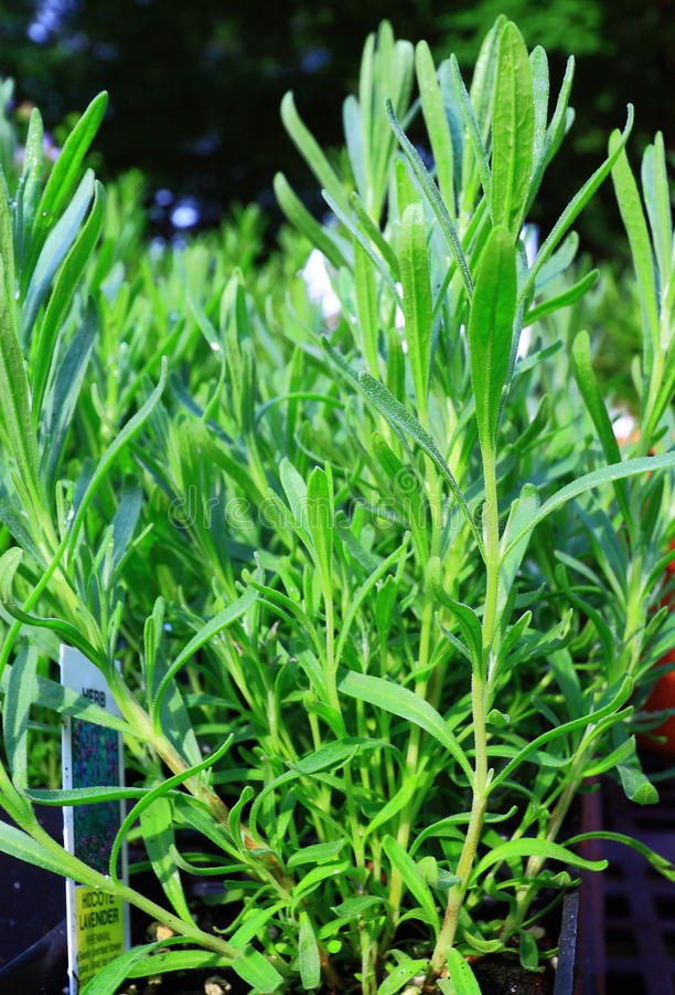 Grüne Rosemary Herb Plants lizenzfreie stockbilder
