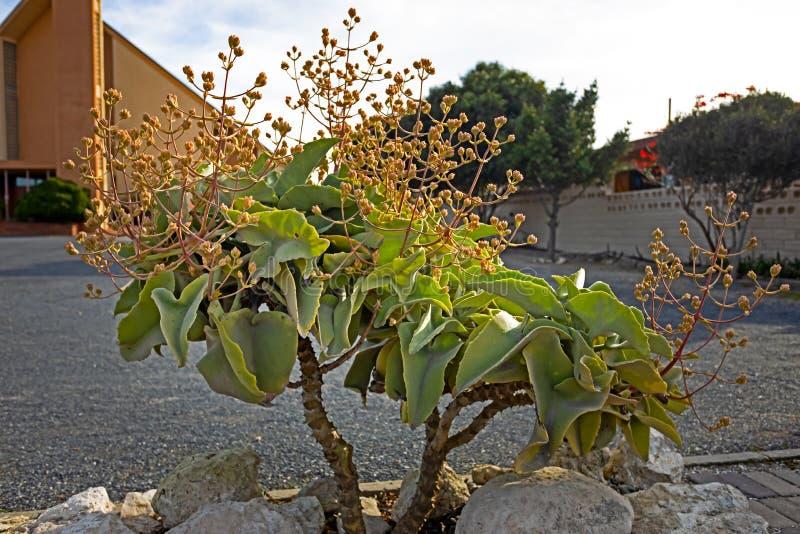 Grüne saftige Anlage mit den Blumenknospen stockfotos