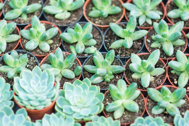 Grüne saftige Miniaturanlagen der Anordnung stockbild