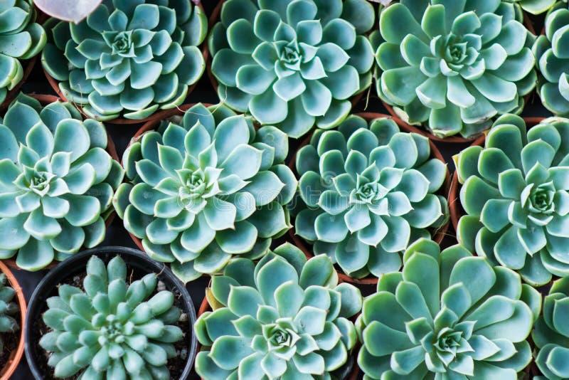 Grüne saftige Miniaturanlagen der Anordnung stockfotografie