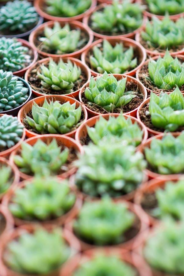 Grüne saftige Miniaturanlagen der Anordnung stockfotos