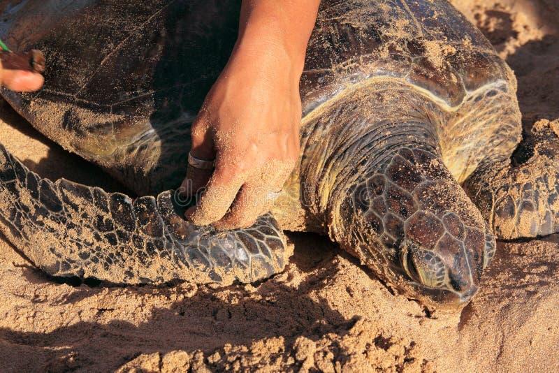 Grüne Schildkröte, die etikettiert wird stockfoto