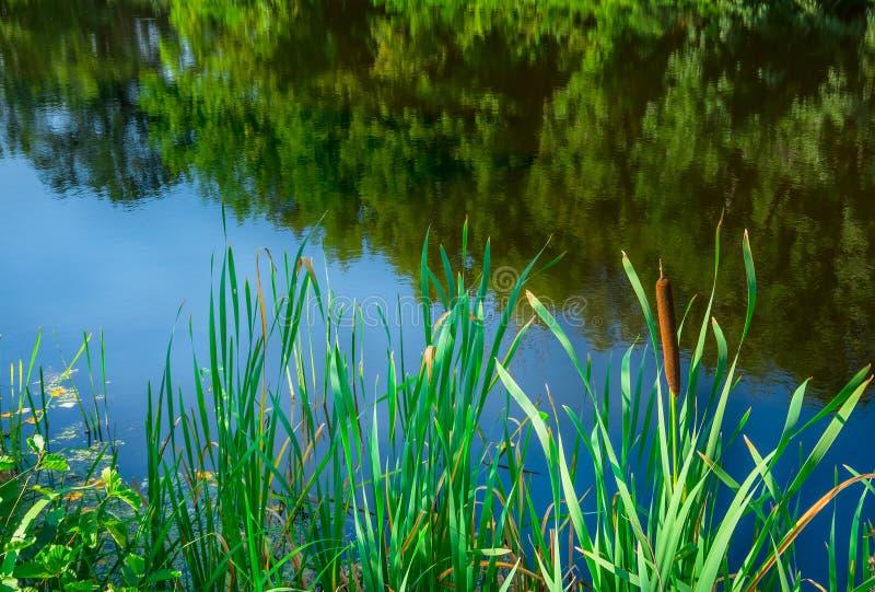 Grüne Schilfe auf dem Fluss stockfotografie
