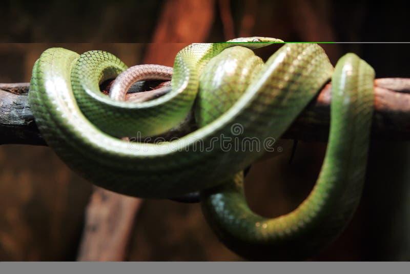 Grüne Schlange lizenzfreie stockfotografie