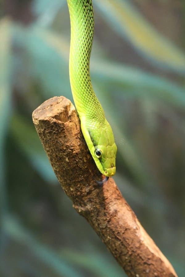 Grüne Schlange beim Schieben auf den Holzstock lizenzfreie stockbilder