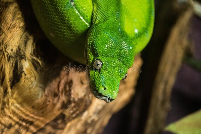 Grüne Schlange im Zoo stockfotos