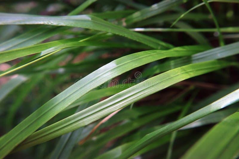 Grüne Seggemakrophotographie des Grases als Hintergrund stockfotografie