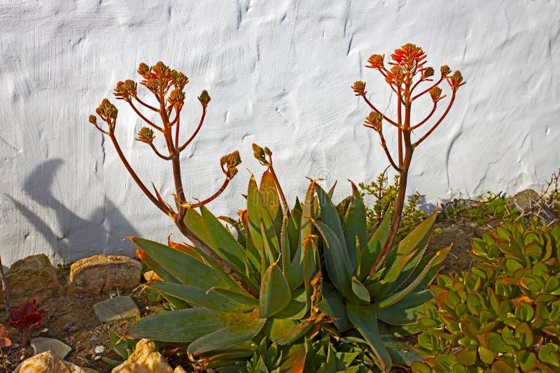 Grüne Seifen-Aloe mit den Blumenknospen stockbilder
