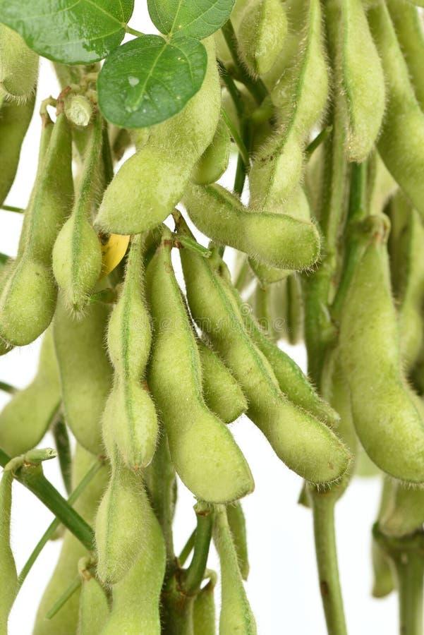 Grüne Sojabohne, die Taubenerbse oder Klasse Cajanus, Frucht stockfotos