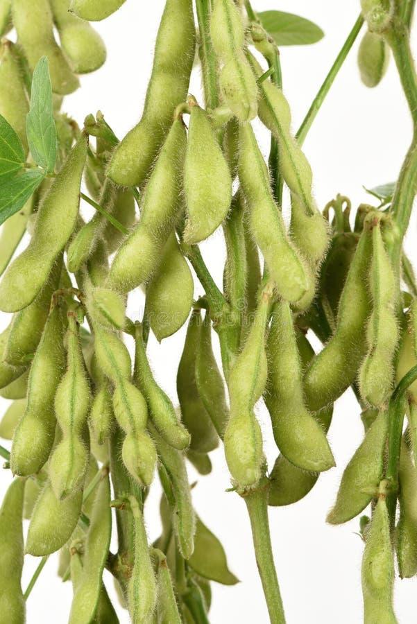 Grüne Sojabohne, die Taubenerbse oder Klasse Cajanus, Frucht stockfoto