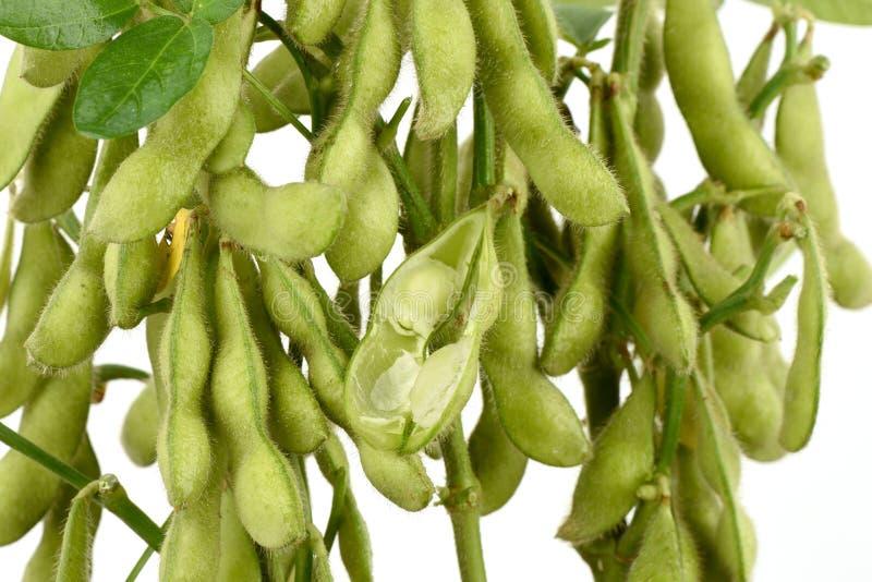 Grüne Sojabohne, die Taubenerbse oder Klasse Cajanus, Frucht lizenzfreies stockfoto