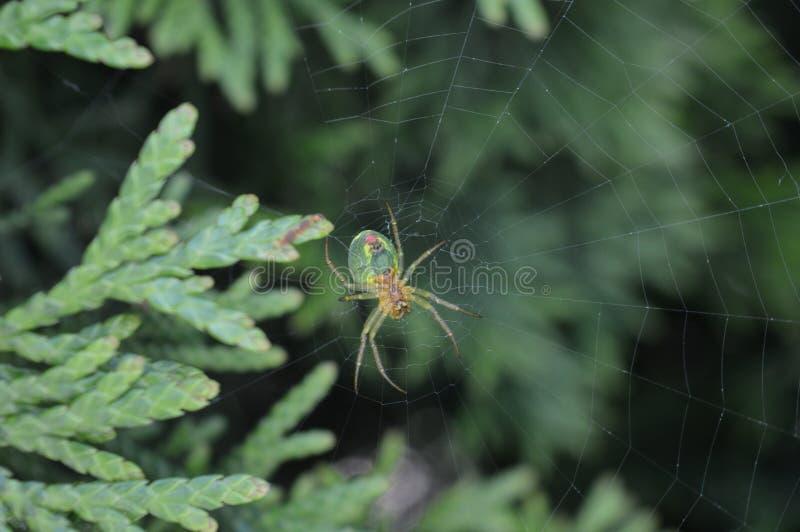 Grüne Spinne lizenzfreie stockbilder