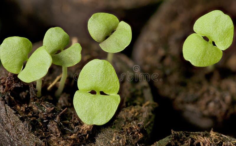 Grüne Sprösslinge des Basilikums lizenzfreies stockfoto
