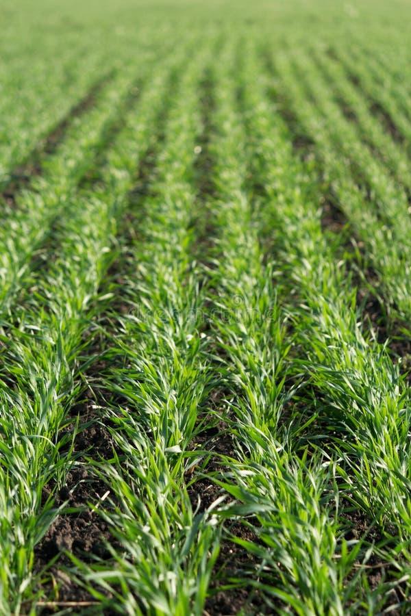 Grüne Sprösslinge des jungen Weizens stockfoto