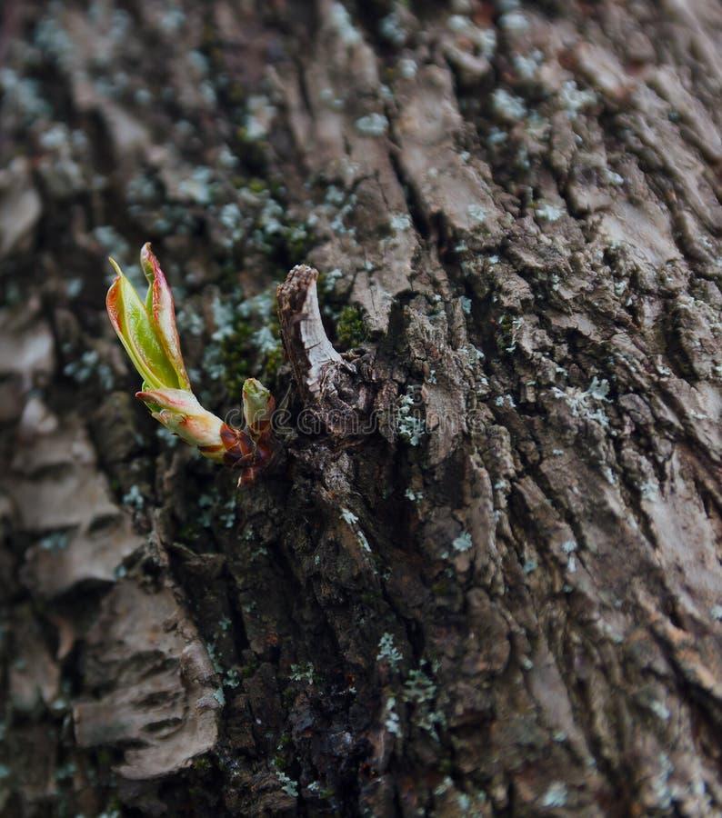 Grüne Sprösslingsmandeln des Frühlinges stockfoto