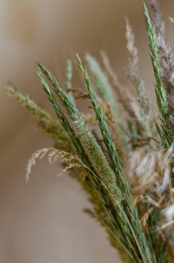Grüne Stämme und Ohren von den Kräutern groß auf einem weichen Hintergrund Hintergrund in den warmen Untertonen von wilden getroc lizenzfreies stockbild