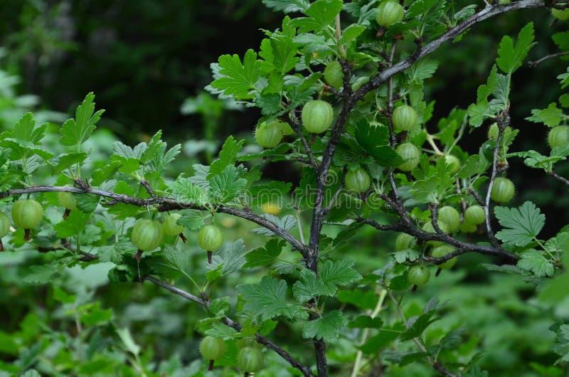 Grüne Stachelbeere lizenzfreies stockbild