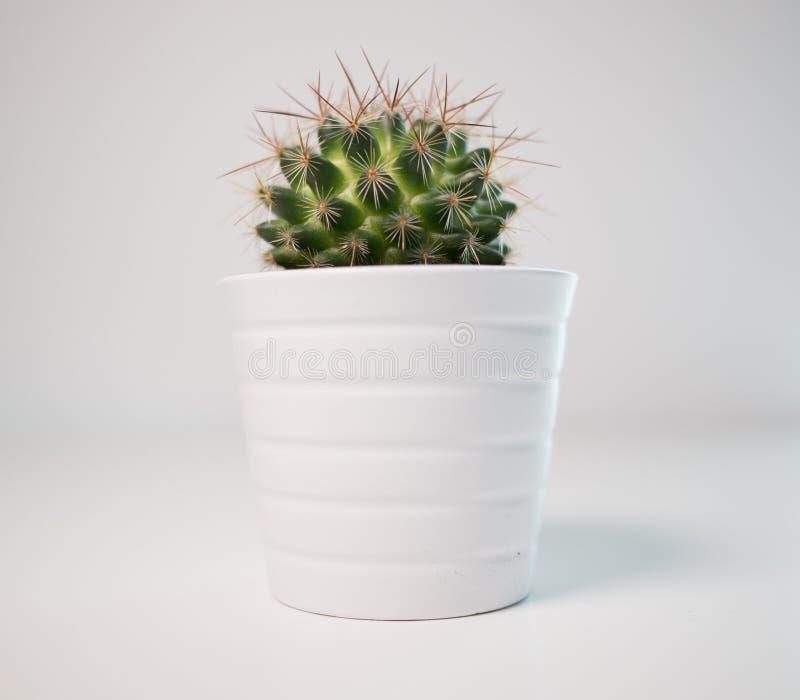 Grüne stachelige Kaktuspflanze in einem weißen Topf auf einem weißen Hintergrund lizenzfreies stockfoto