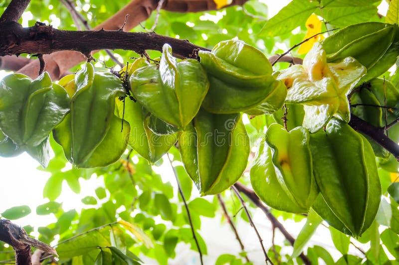 Grüne Sternfrüchte auf dem Stamm stockbild