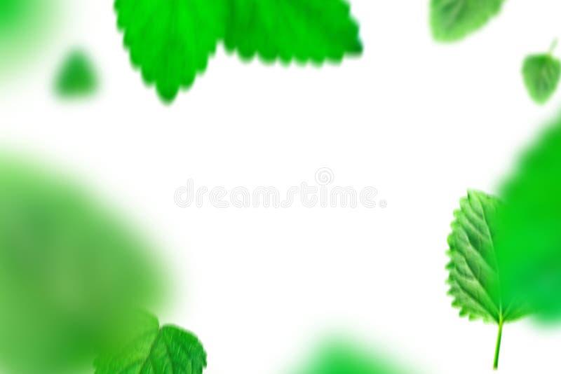 Grüne tadellose Blätter auf lokalisiertem weißem Hintergrund lizenzfreie abbildung