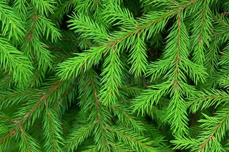Grüne Tannenbeschaffenheit lizenzfreie stockfotos