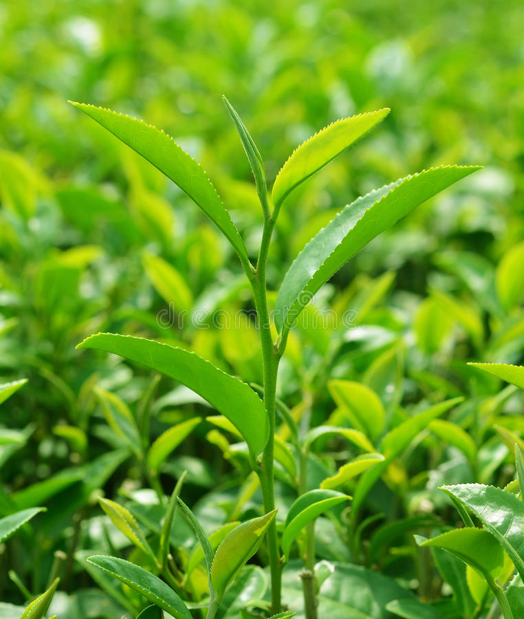 Grüne Teeblätter lizenzfreie stockfotos