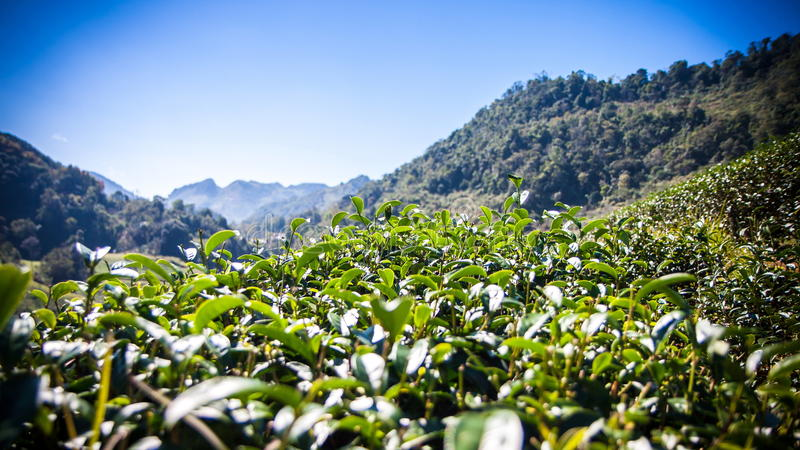 Grüne Teeblätter mit blauem Himmel, Thailand, Filtereffekte lizenzfreie stockbilder