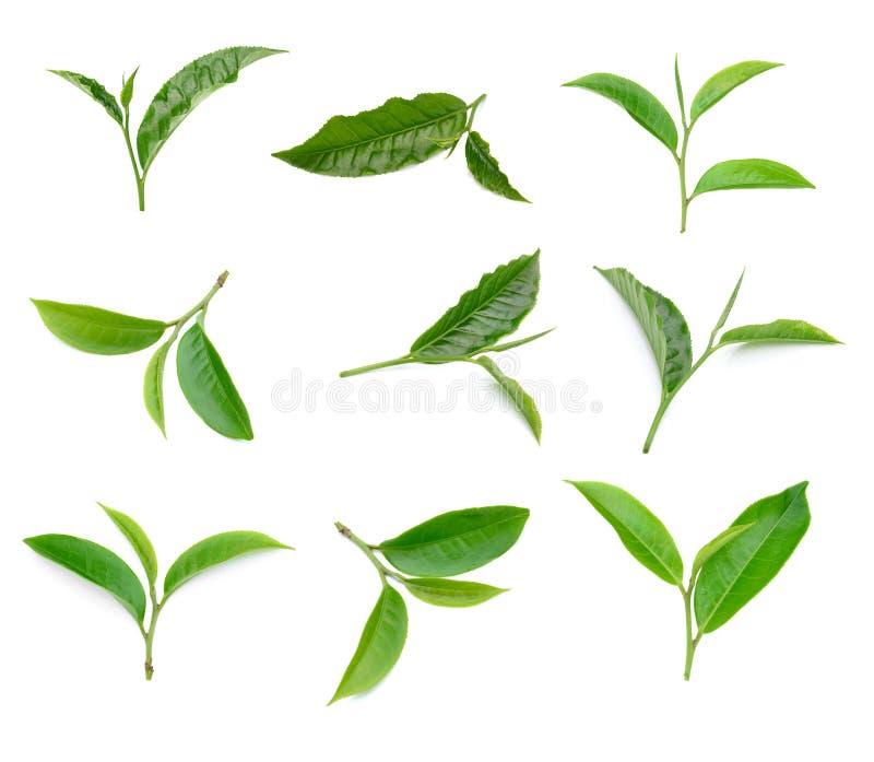 Grüne Teeblattsammlung auf weißem Hintergrund lizenzfreie stockbilder