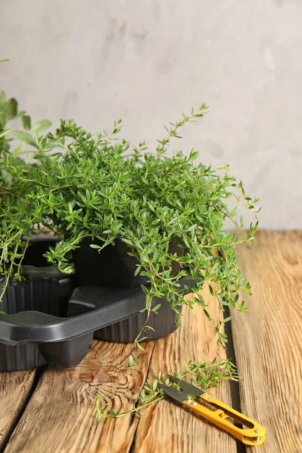 Grüne Thymiananlage im Topf mit Schneider auf Holztisch lizenzfreies stockfoto