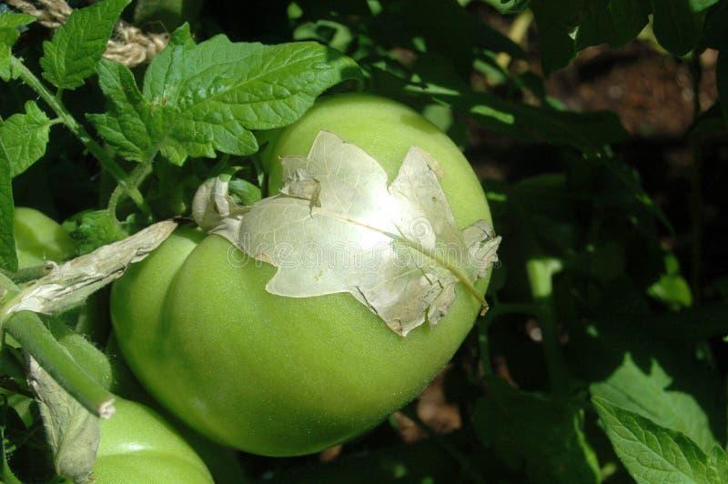 Grüne Tomate stockfotos