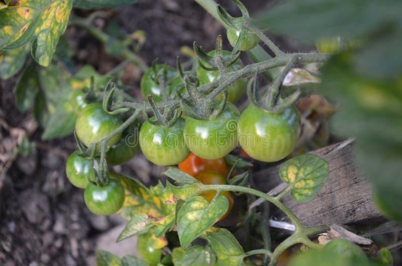 Grüne Tomate stockfotografie