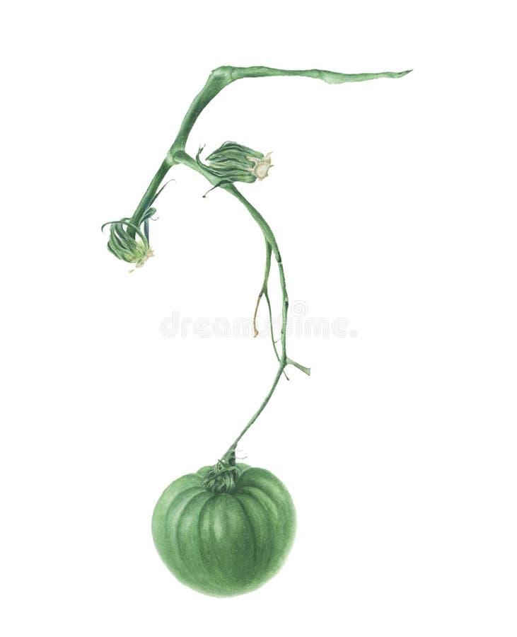 Grüne Tomate auf einer Niederlassung, Aquarellmalerei stock abbildung