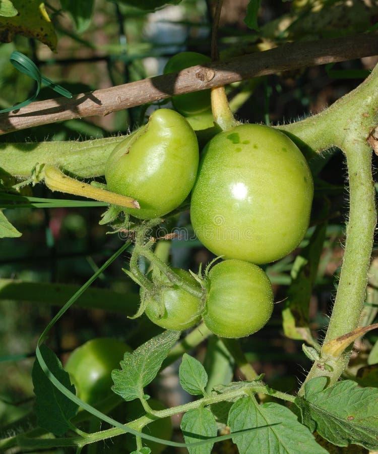 Grüne Tomaten auf der Rebe 1 lizenzfreies stockfoto