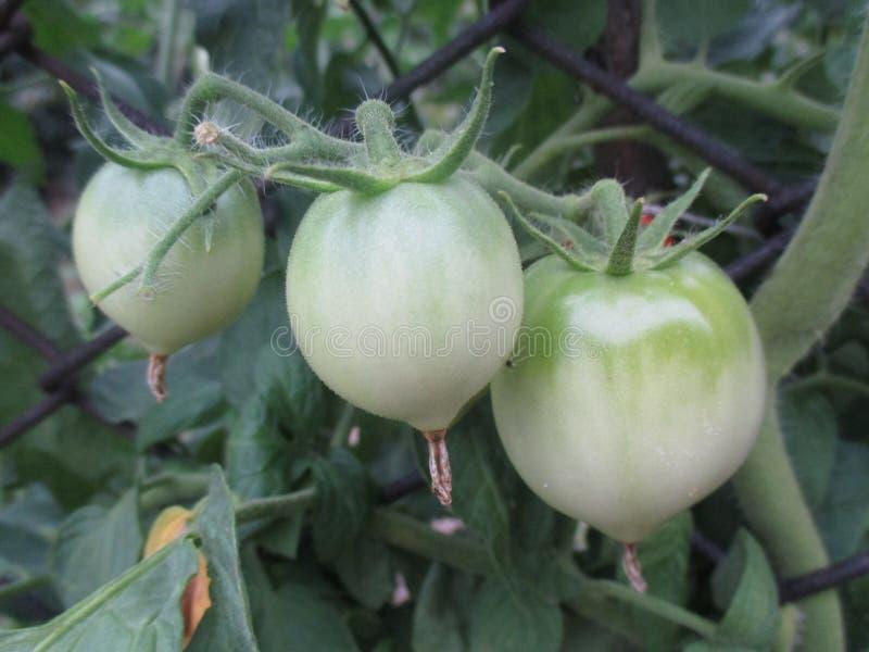 Grüne Tomatenfrucht lizenzfreie stockfotografie