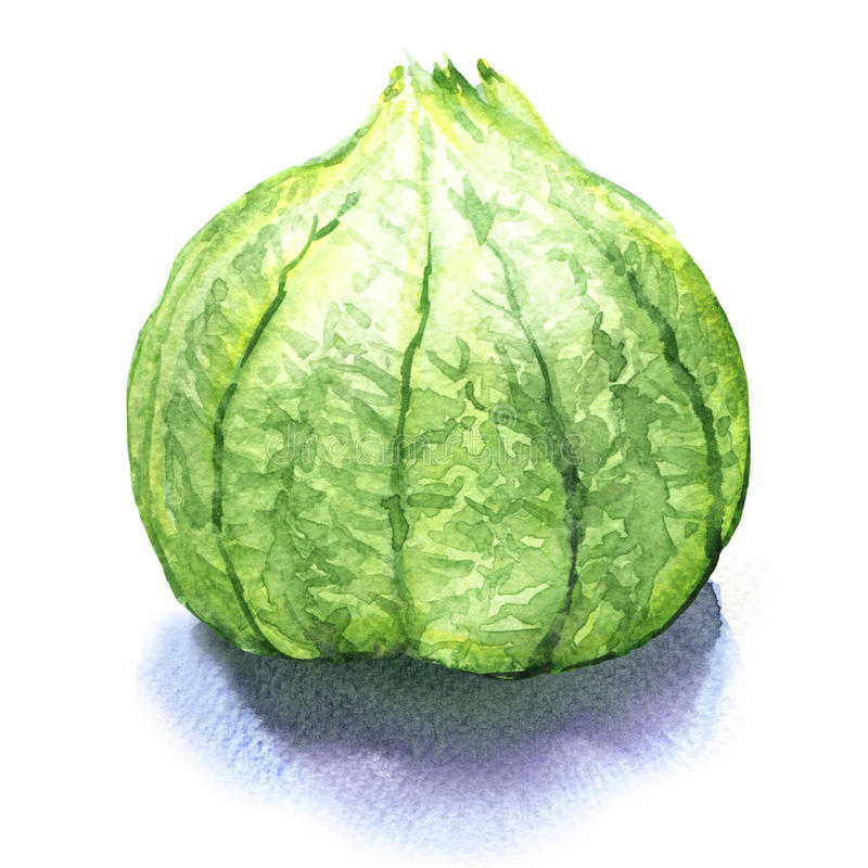 Grüne tomatillo Früchte, Salsa verde Bestandteil vektor abbildung