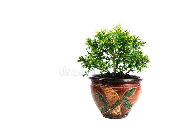 Grüne Topfpflanze, Bäume im Topf lokalisiert auf Weiß lizenzfreie stockbilder