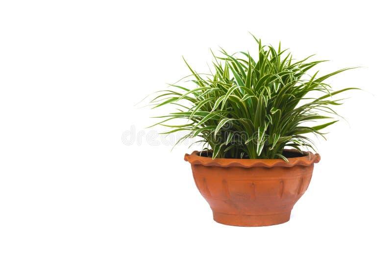 Grüne Topfpflanze, Bäume im Topf lokalisiert auf Weiß lizenzfreies stockfoto